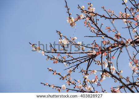 Plum flower in spring, Beautiful Flower ,natural background, soft focus; Blur; Close-up.
