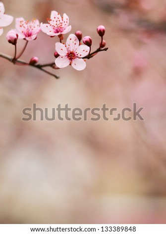 Plum flower macro shot - stock photo