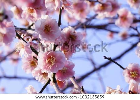 https://thumb1.shutterstock.com/display_pic_with_logo/167494286/1032135859/stock-photo-plum-in-japanese-shrine-1032135859.jpg