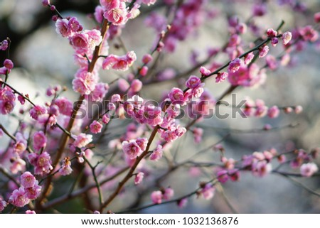 https://thumb1.shutterstock.com/display_pic_with_logo/167494286/1032136876/stock-photo-plum-in-japanese-shrine-1032136876.jpg