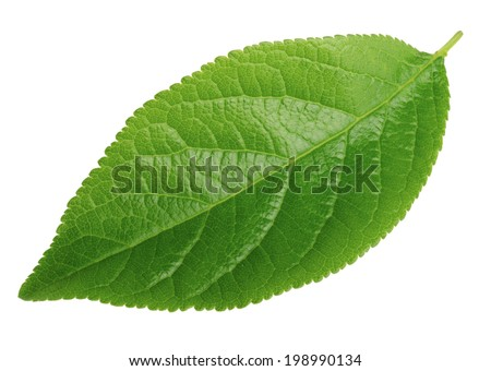 plum leaf isolated on a white - stock photo