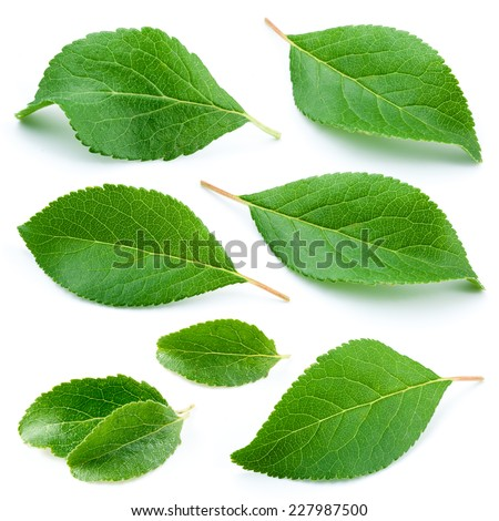 Plum leaves isolated on white background - stock photo