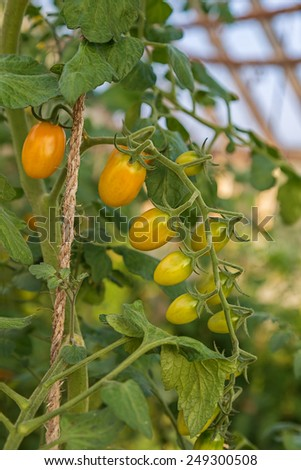 Plum tomatoes tied up and  ripening in the greenhouse. - stock photo