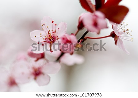 Plum Tree Blossom - stock photo