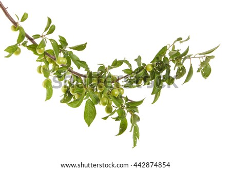 plum-tree branch with green fruits and leaves. isolated on white background
