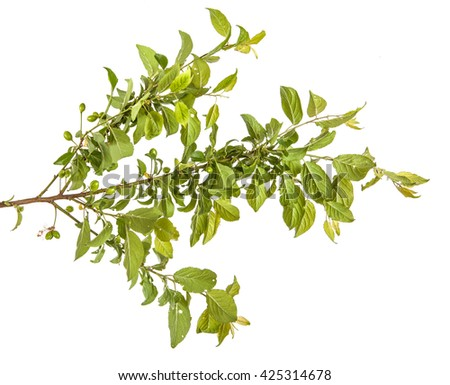 plum-tree branch with green leaves and berries. Isolated on white background