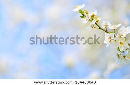 Plum tree flowers against bokeh background - stock photo