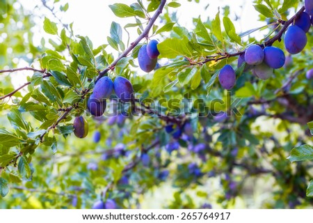 Plum tree with fruits growing in the garden.