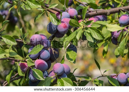 Plum tree with juicy fruits on sunset light - stock photo