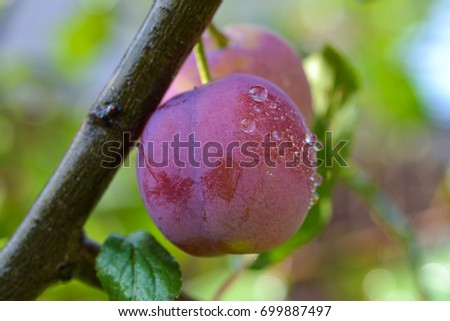 Plum tree with juicy fruits on sunset light