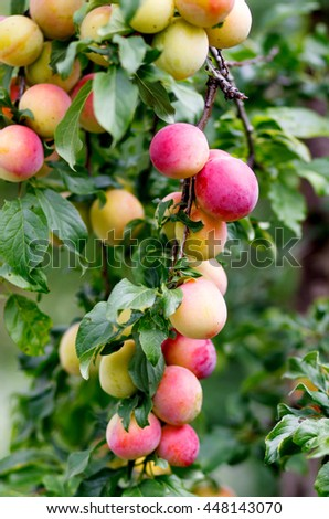 Plum tree with plums