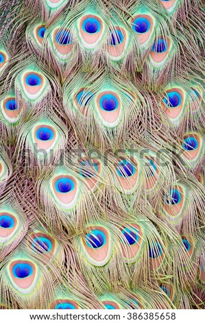 Plumage of a Male Peacock - stock photo