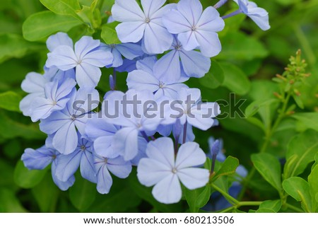 Plumbago auriculata common names white plumbago stock photo royalty plumbago auriculata common names white plumbago blue plumbago cape plumbago or cape mightylinksfo