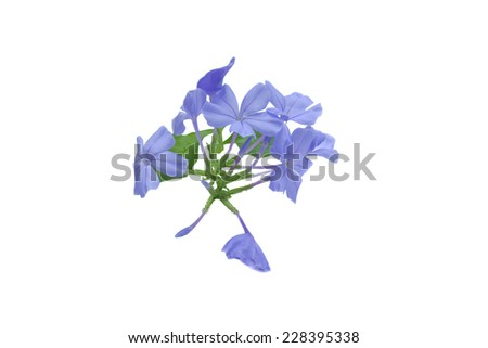 Plumbago isolated on white balance