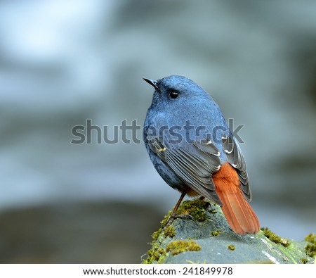 Plumbeous Water Redstart, the beautiful blue bird standing on the mossy rock in the stream with moving stream behind - stock photo