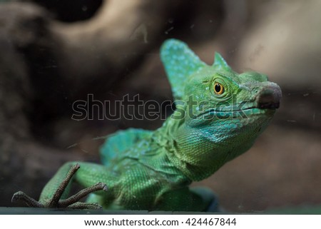 Plumed basilisk (Basiliscus plumifrons), also known as the green basilisk. Wildlife animal.  - stock photo