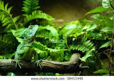 Plumed basilisk posing proudly in its kingdom - stock photo