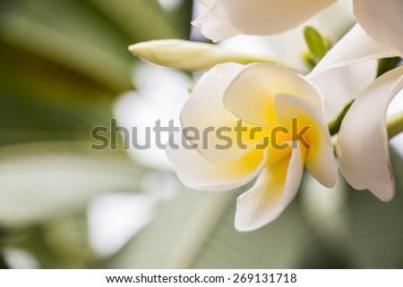 Plumeria alba pigeon wood pagoda tree caterpillar tree nosegay tree white frangipani frangipanier à fleurs blanches - stock photo