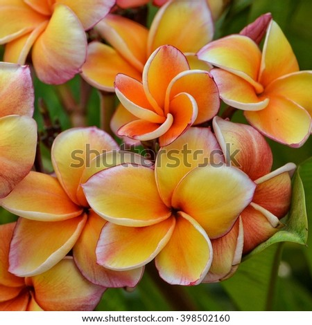 Plumeria are blooming on spring at the garden in Thailand, very beautiful