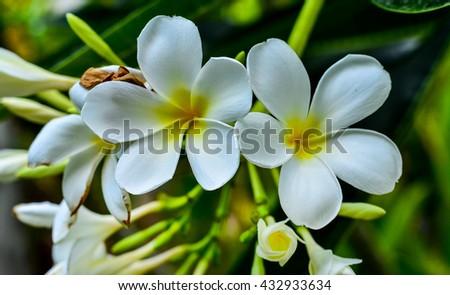 Plumeria atmosphere in the morning after rain. White plumeria on the plumeria tree, Frangipani tropical flowers, White plumeria on the plumeria tree. - stock photo