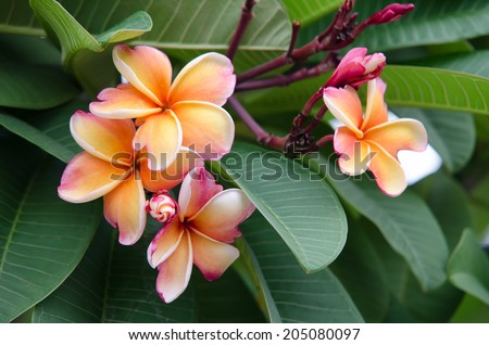 Plumeria. Beautiful pink inflorescence.
