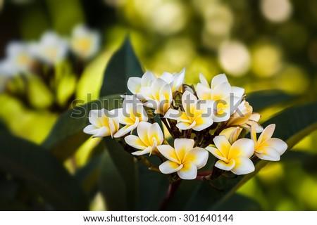 Plumeria (common name Frangipani) is a genus of flowering plants in the dogbane family, Apocynaceae. - stock photo