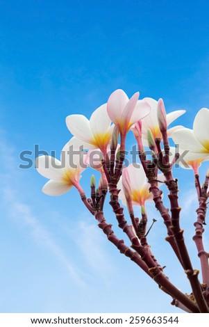 plumeria flower  - stock photo