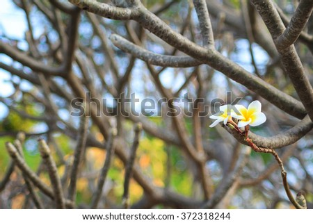 Plumeria flower and leafless branches - stock photo