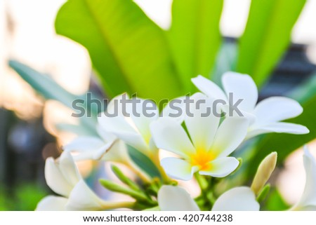 Plumeria flower blooming on the tree (selective focus with vignette) - stock photo