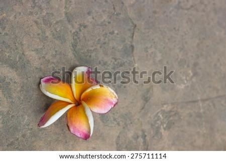 Plumeria flower, flower background - stock photo