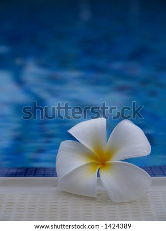 Plumeria flower next to the pool - stock photo