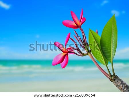plumeria flower on beach background - stock photo