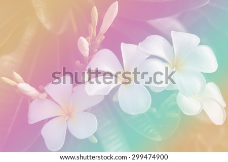 Plumeria  flower sweet tone and blur background. - stock photo