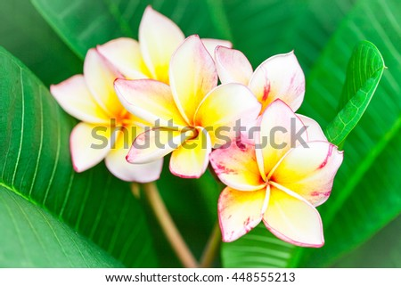 Plumeria flowers and green leaves