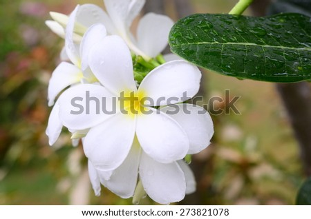 plumeria flowers background wall color nature rain water isolated spa yellow white blossom - stock photo