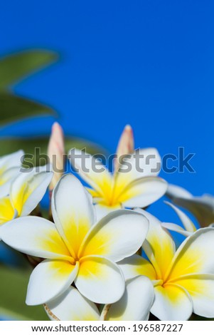 plumeria flowers closeup on blue background