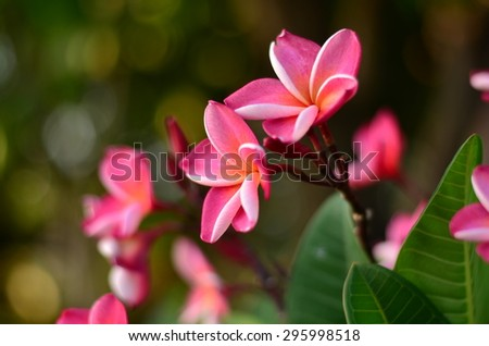 Plumeria flowers color pink green nature wall background blossom plant bloom beautiful spa