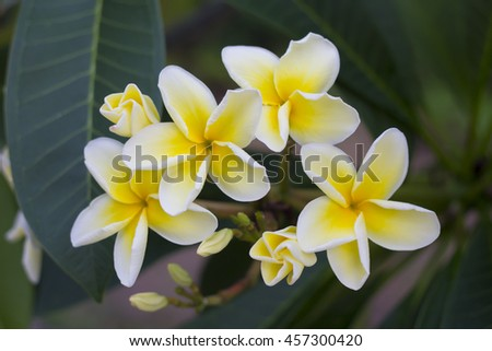 Plumeria Flowers, Flower for Spa aroma of Thailand. - stock photo