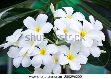 Plumeria flowers is in white. It look so beautiful and suit for decoration and giving to someone. - stock photo