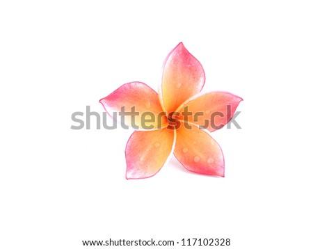 Plumeria flowers isolated on white - stock photo