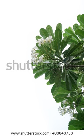Plumeria flowers isolated on white background