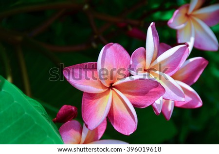 Plumeria flowers nature leaf close up background Apocynaceae plant garden color pink