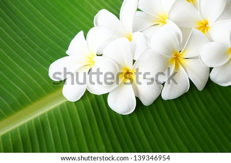 Plumeria flowers on banana leaf background - stock photo