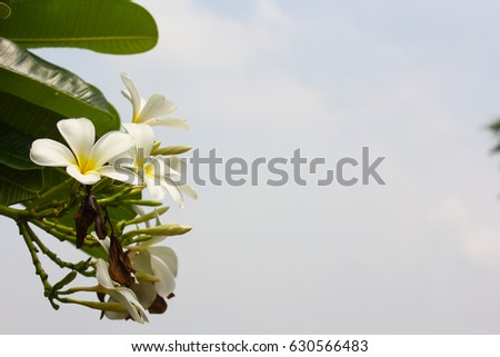 plumeria flowers on sky background.