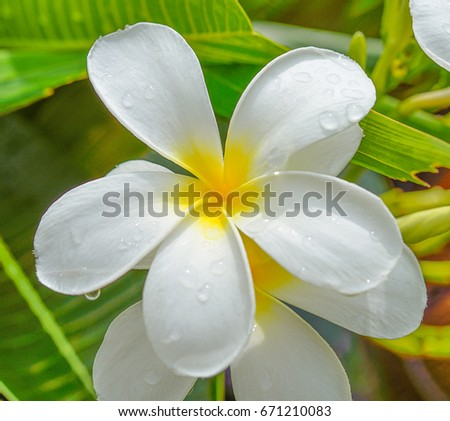 Plumeria flowers on the tree.