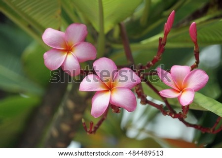 Plumeria flowers (plumeria) tropical flower.