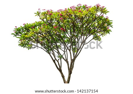 Plumeria flowers tree isolated on white background - stock photo