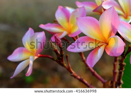 Plumeria flowers with beautiful colors