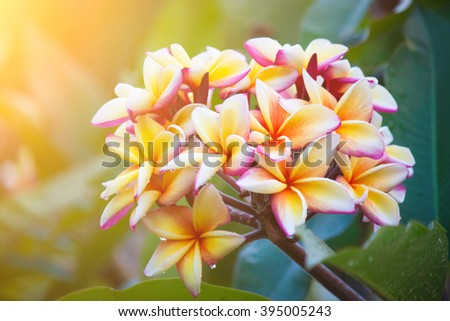 Plumeria flowers with beautiful colors and light in the morning.