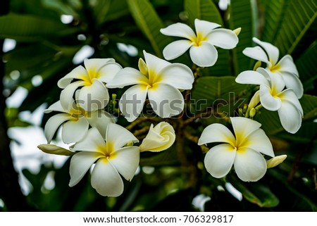 Plumeria flowers with green leaves background